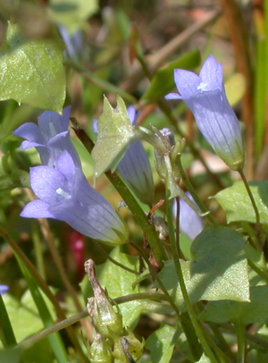 Wahlenbergia_hederacea_040727_TS.png
