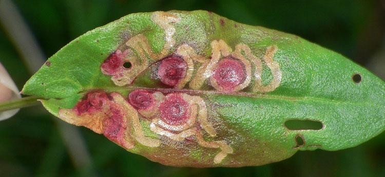 Foto 3: Ampfer-Zwergminierfalter <i>Enteucha acetosae</i> an <i>Rumex acetosa</i>, unverwechselbares Befallsbild