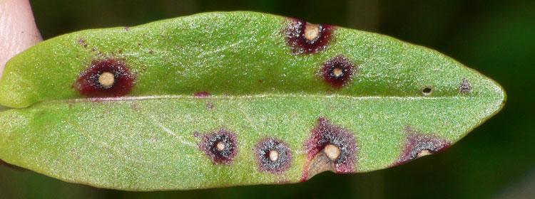 Foto 1: Rostpilz <i>Puccinia phragmitis</i> an <i>Rumex acetosa</i>