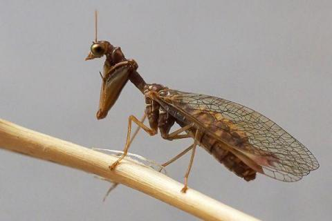 Steirischer Fanghaft - Mantispa styriaca