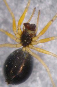 Hylyphantes nigritus