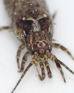 Felsenspringer Lepismachilis y-signata