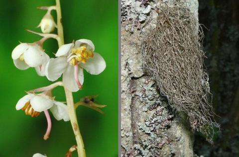 Pyrola rotundifolia (links), Bartflechte Bryoria fuscescens (rechts)