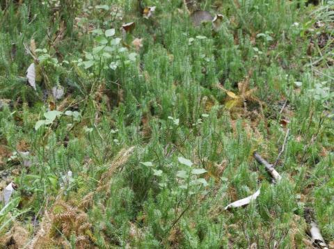 Bestand des Sprossenden Bärlapps (Lycopodium annotinum) im Moosbruch. Foto: Th. Schneider, 09.08.2017