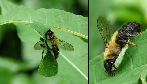 Megachile nigriventris, Schwarzbürstige Blattschneiderbiene