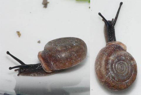 Helicodonta obvoluta (auf Kalkschutt, schattig, locker moosüberwachsen)