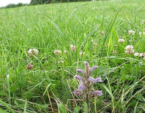 Orobanche purpurea 2009 in Güdesweiler (Foto: Rudi Dupré)
