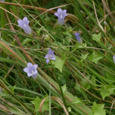 Moorglöckchen (Wahlenbergia hederacea) (Blüten) im Schuster-Hannes-Bruch