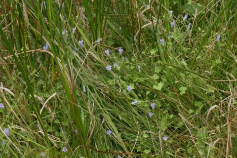 Moorglöckchen (Wahlenbergia hederacea) im Schuster-Hannes-Bruch. Foto: Th. Schneider, 19.07.2018