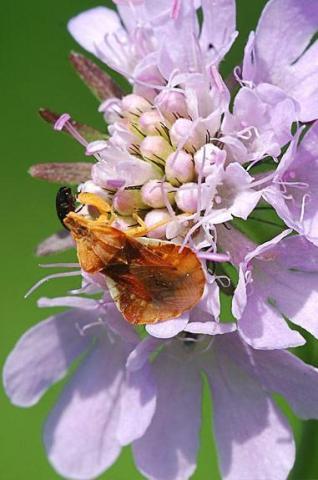 Phymata crassipes an der Rebenklamm bei Reinheim (Foto: U. Heseler, 18.06.2009)